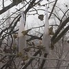 "House Finch and American Goldfinches <br> Bridgeton, Mo <br> 2018-02-17  <br>  <span class=""noShowSmart""> <a href=""/MyKeywords/Bird-Videos/n-gF9bt/i-xqXK9SZ/A""> <span style=""color:yellow"">Click here to open video in lightbox/full screen</span></a> </span>  <span class=""noShowGallery""> <a href=""/Birds/2018-Birding/Birding-2018-February/2018-February-Yardbirds/i-xqXK9SZ/A""> <span style=""color:yellow"">Click here to open video in lightbox/full screen</span></a> </span>"
