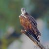 Osprey <br /> Lincoln Shields Recreation Area <br /> Riverlands Migratory Bird Sanctuary