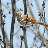 Brown Thrasher <br /> Riverlands Migratory Bird Sanctuary