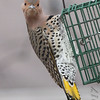 """Hey, it's empty!!""<br /> Northern Flicker <br /> Bridgeton, MO <br /> 2017-12-09"