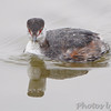 Horned Grebe <br /> Ellis Bay <br /> Riverlands Migratory Bird Sanctuary