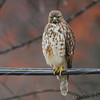 Red-shouldered Hawk <br /> City of Bridgeton <br /> St. Louis County, Missouri <br /> 12/21/11