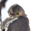 Cooper's Hawk <br /> City of Bridgeton <br /> St. Louis County, Missouri <br /> 12/17/11