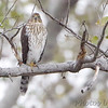 Cooper's Hawk <br /> Riverlands Migratory Bird Sanctuary