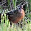 Virginia Rail <br /> Heron Pond  <br /> Riverlands Migratory Bird Sanctuary