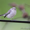 Blue-gray Gnatcatcher <br /> Bridgeton, Mo<br /> 2017-07-23