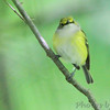 White-eyed Vireo  <br /> Lost Valley Trail <br /> Weldon Springs Conservation Area