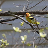 Western Tanager <br /> Robin Hill, St. Louis County, Missouri