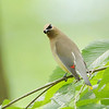 Cedar Waxwing <br /> Tower Grove Park
