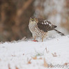 Shot out basement door <br /> Sharp-shinned Hawk <br /> Bridgeton, MO <br /> 2013-12-08