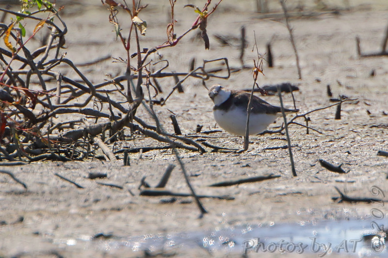 "Semipalmated Plover  <span class=""spacer_LB_caption""> • </span> <br> Mertz Road  <span class=""spacer_LB_caption""> • </span> <br> St Charles County"