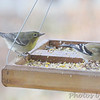 Female Pine Warbler<br /> Bridgeton, Mo.