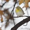 Pine Warbler<br /> Bridgeton, Mo. <br /> 2007-12-02 17:06:53