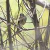 Louisiana Waterthrush <br /> Creve Coeur Marsh