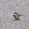 Yellow-rumped Warbler <br /> Lone Elk Park
