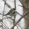 Yellow-rumped Warbler (Myrtle's)  <br /> Route 66 State Park