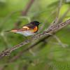 American Redstart male <br /> Tower grove park