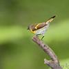 American Redstart female<br /> Tower grove park