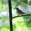 American Redstart (female)  <br /> Tower Grove Park