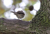 """Yellow-rumped Warbler <span class=""""spacer_LB_caption""""> • </span> <br> Backyard <span class=""""spacer_LB_caption""""> • </span> <br> City of Bridgeton <span class=""""spacer_LB_caption""""> • </span>  <br> St. Louis County, Missouri <span class=""""spacer_LB_caption""""> • </span>   <br> 2020-10-21"""