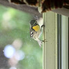 Yellow-throated Warbler <br /> kitchen window <br /> City of Bridgeton <br /> St. Louis County, Missouri <br /> 2019-07-31