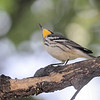Yellow-throated Warbler <br /> Backyard <br /> City of Bridgeton <br /> St. Louis County, Missouri <br /> 2019-07-31