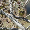 Common Yellowthroat  <br /> Tower Grove Park