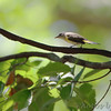 American Redstart <br /> Tower Grove Park