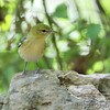 Bay-breasted Warbler <br /> (1st fall female) <br /> Tower Grove Park
