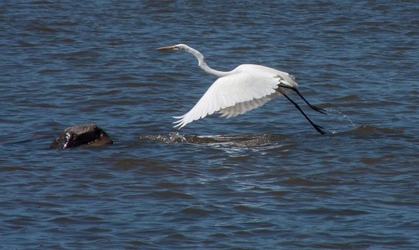 The great egret takes flight.