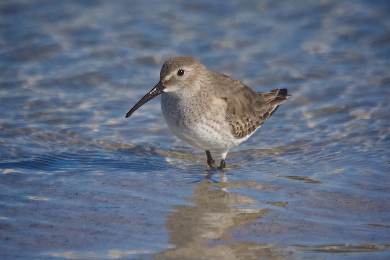 Dunlin in Winter