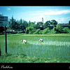 This is one of several rice paddys on the way to Tainan from Kaohsiung, Taiwan in 1954.