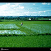 A rice field on the way to Tainan from Kaohsiung, Taiwan in 1954.