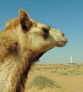Free-range camels (Camelus dromedarius) - Sharjah desert near airport (Sharjah monument in background), UAE; 15/02/2013, 10 a.m.
