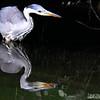 Grey Heron at Dusk