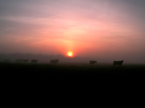 Cows coming home at sunset near Glastonbury, UK