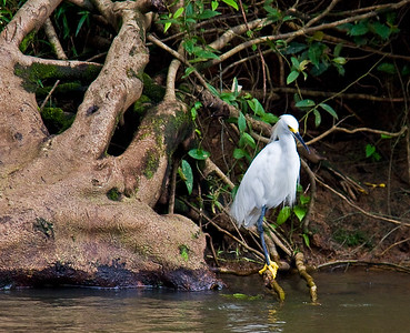 Yellow Footed Heron, Costa Rica