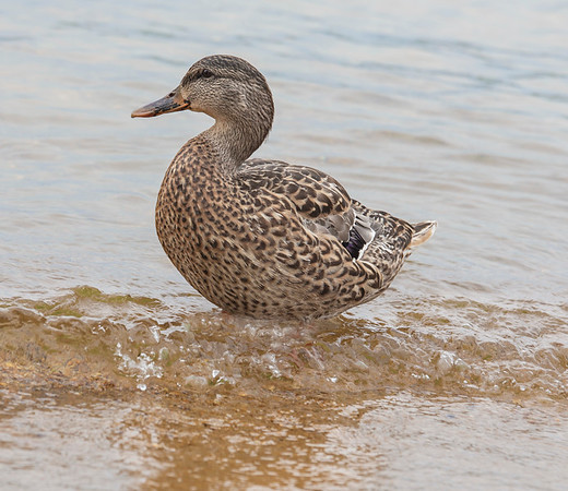Wonderful duck just finishing a swim in Lake Newfound, NH.  She seems quite delicate -  and the wave she is sitting in almost knocked her sideways!