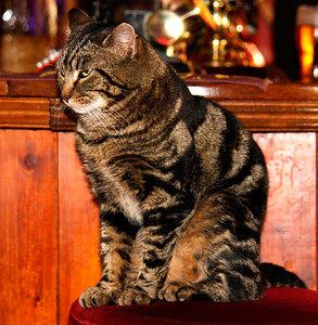 Pub Cat - Near Finchcocks, Goudhurst, UK...The Green Lantern Pub