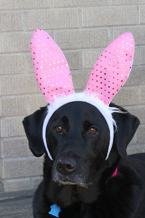 """Wrigley""  is all ready for Bunny Day  Photographer's Name: lynne sensor Photographer's City and State: marengo, IL"