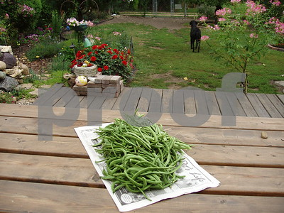 GREEN BEAN HARVEST  Photographer's Name: LISA LARSON Photographer's City and State: GENOA, IL