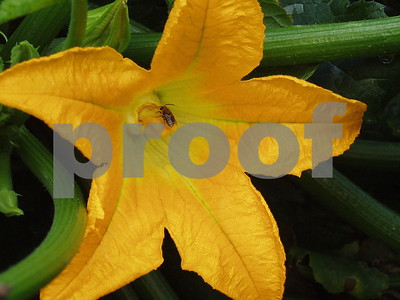 Zucchini flower  Photographer's Name: lisa larson Photographer's City and State: Genoa, IL