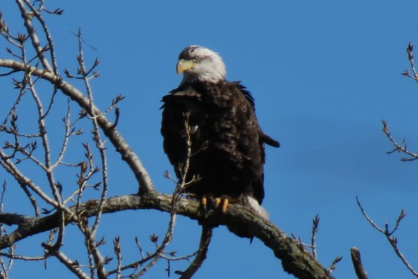 Eagle along the Fox River just south of down town Batavia<br /> <br /> Photographer's Name: Ron Dickenson<br /> Photographer's City and State: Batavia, IL