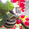 Snail on Red Current...picture was taken on vacation in Poland <br /> <br /> Photographer's Name: Donna Zielinski<br /> Photographer's City and State: Elgin, IL