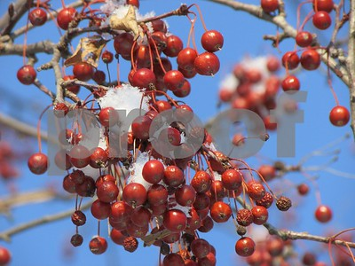Frozen Berries  Photographer's Name: Liliana Metz Photographer's City and State: Sandwich, IL