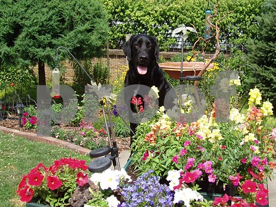 doggie amoungst the flowers  Photographer's Name: lisa larson Photographer's City and State: genoa, IL
