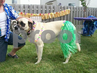 Tyson, the English Mastiff, dressed and ready for Hawaii party  Photographer's Name: Kathy Hall Photographer's City and State: Kirkland, IL
