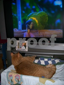 Dudley watches his Cat Sitter video. Great purchase for housecats!!  Photographer's Name: Kathy Hall Photographer's City and State: Kirkland, IL