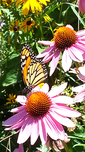 Summer Beauty!  Photographer's Name: Ann Duchon Photographer's City and State: Lemont, IL