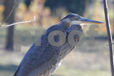 Great Blue Heron photographed at Pioneer Park Kirkland  Photographer's Name: Kathy Hall Photographer's City and State: Kirkland, IL